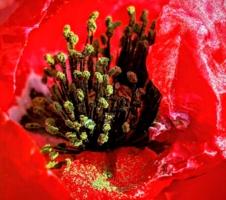 Цветок грез