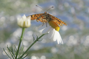 Афанасий Фет «Бабочка»