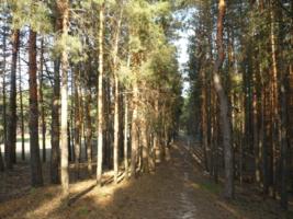 Солнце в сосновом лесу