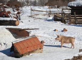 Пёс свинье не товарищ!!!!
