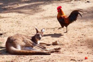 Петух кенгуру не товарищ