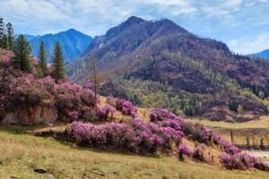 Сиреневые горы (маральник)