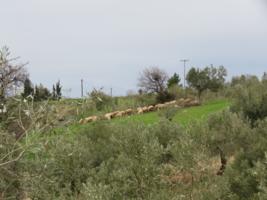 Пастбище в оливковой роще