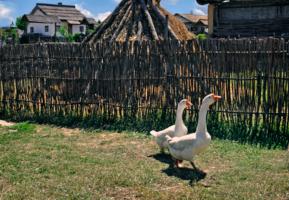 Жили у бабуси два гуся
