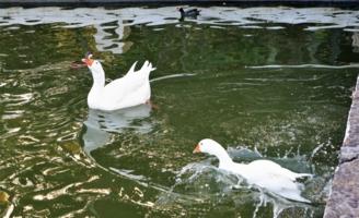 Гуси и другие домашние птицы