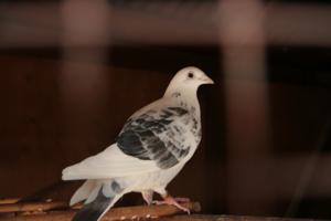 на голубятне