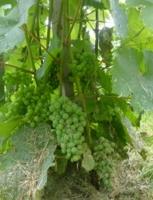 Виноград для туристов