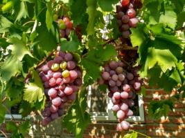 Розовые грозди