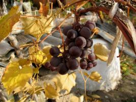Осень виноградная.