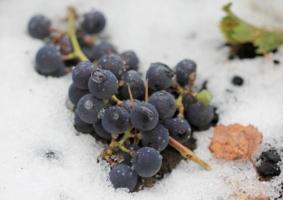 ветка винограда в снег упала....