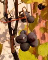 Виноградины.