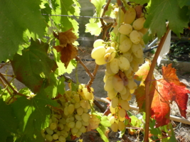Виноград и Осень