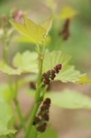 Виноградная грозь весной