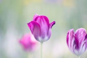 Нежные тюльпаны...