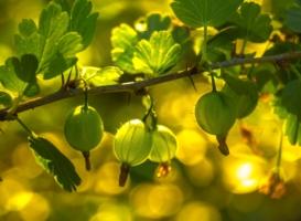Спеют ягоды в саду...