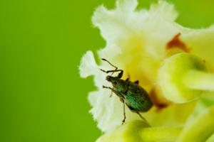 Долгоносик в цветке