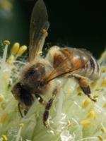 пчела на сборе урожая