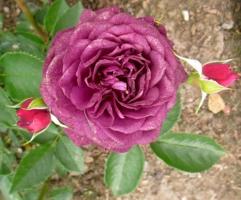 Роза цвета свёклы