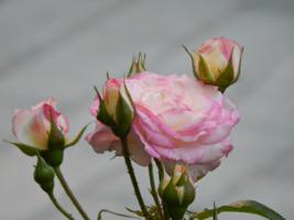 Розовые...для Светки...