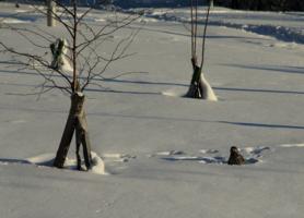 Купание в снегу кедровки
