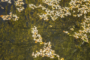 Клонились березы, роняя листву