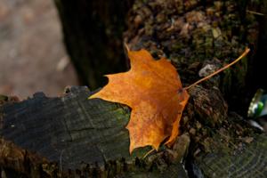 Рыжий лист кленовый...