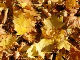 На ковре, из желтых листьев...