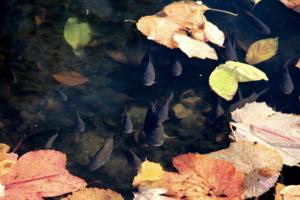 листья покрыли поверхность пруда