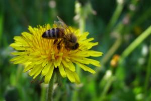 Я пчелка, пчелка, пчелка...
