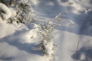 Снежком её укутывал...