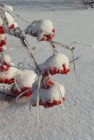 Снег на рябине