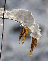 Снежная веточка
