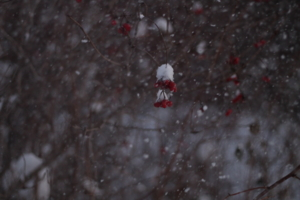Калина в снегу