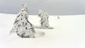 Под снежным гнетом.