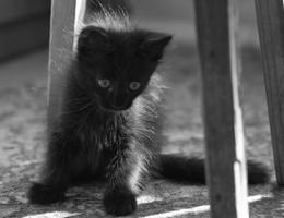 Черный одуванчик