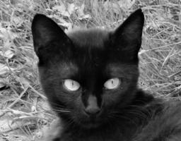 Кот -  черный, ус - белый