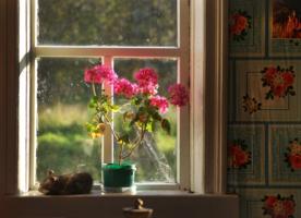 Тянутся цветы герани...