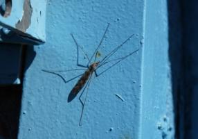 Малярийный комар (Anopheles)