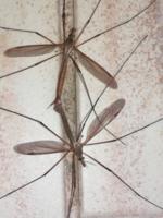 комарики