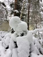 Снежный соболь