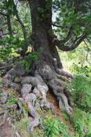Великану - великаньи корни