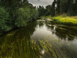 Густые локоны реки Оредеж.