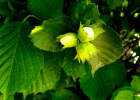 Три орешка на зеленом фоне