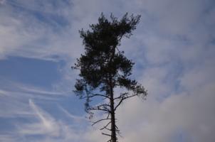 Голубое небо на фоне сосны