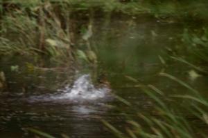 купание утки