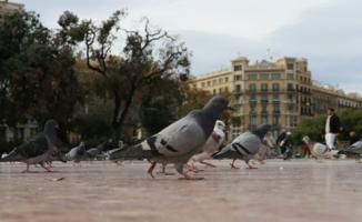 Когда голуби были большими