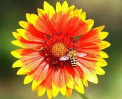 Обычное занятие пчелы