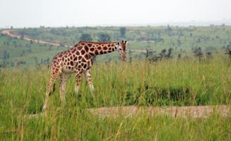 Изысканный бродит жираф