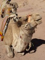 верблюжьи байки