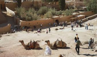 верблюды дома